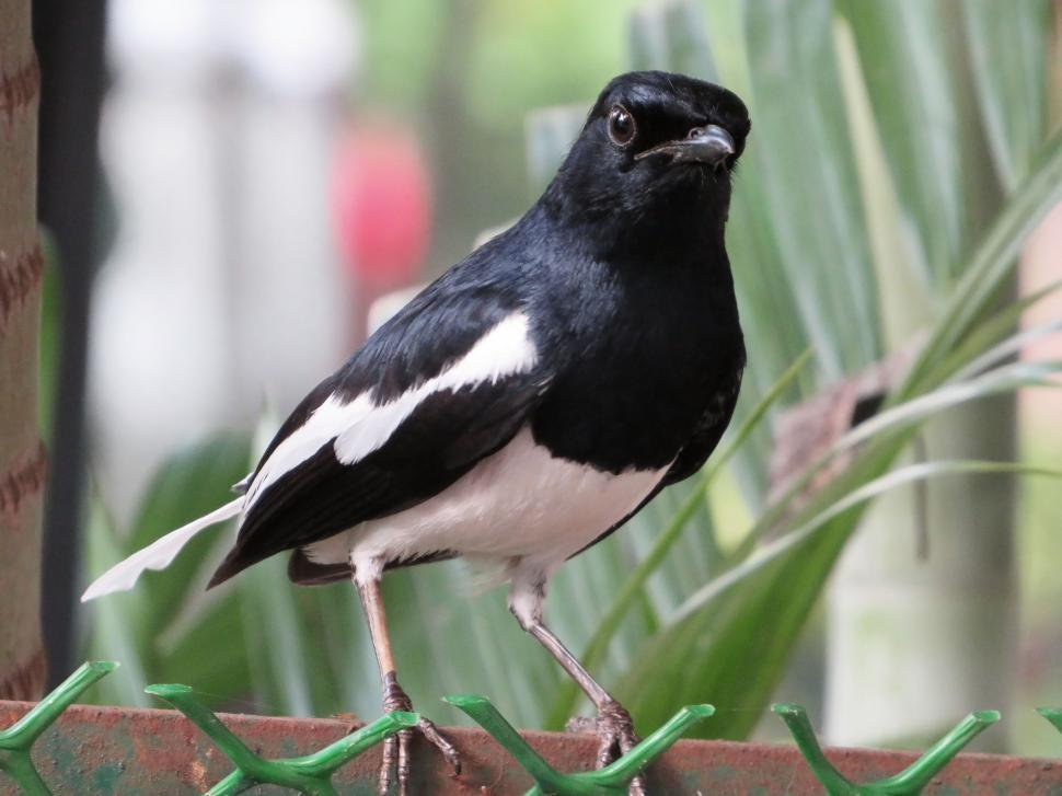 Download Free Stock Photo of Oriental magpie robin
