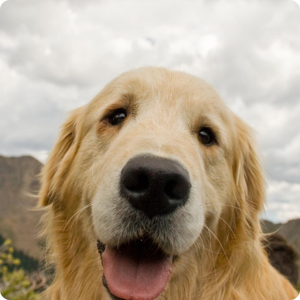 Download Free Stock HD Photo of Cute Golden Retriever Online