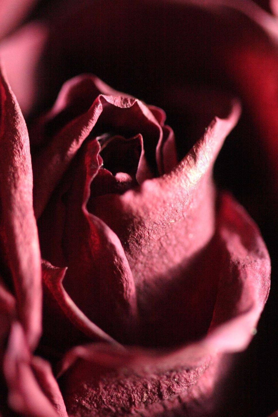 Download Free Stock Photo of Dead Red Rose