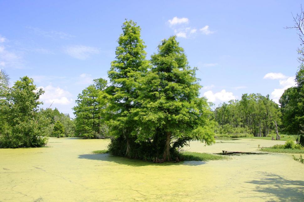 Download Free Stock Photo of Swamp trees