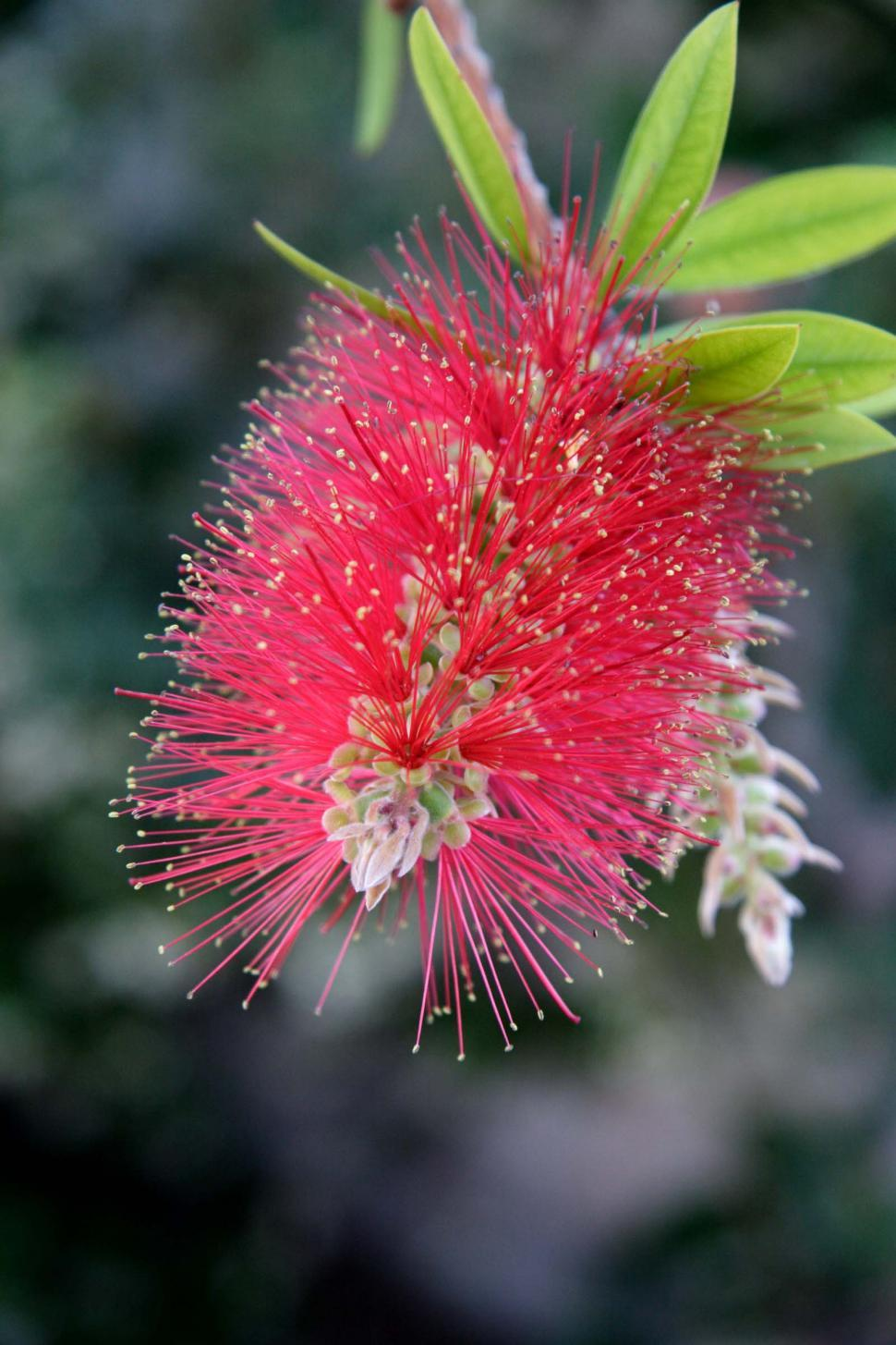 Download Free Stock Photo of Bottle Brush Bloom