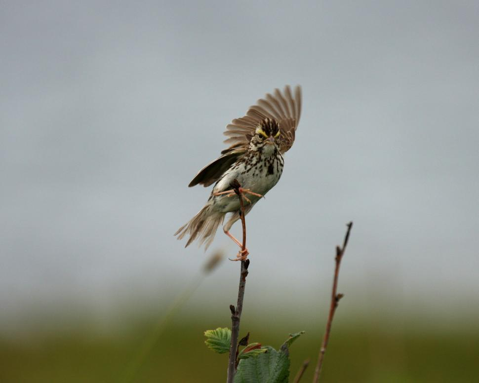 Download Free Stock Photo of Sparrow