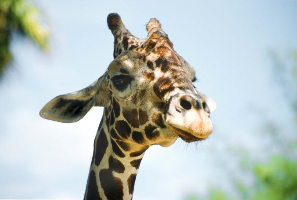 Download Free Stock HD Photo of Head of the Giraffe Online