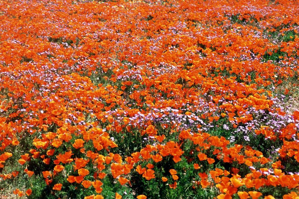 Download Free Stock Photo of fields flowers blooming poppy poppies orange blooms wildflowers blossoms california