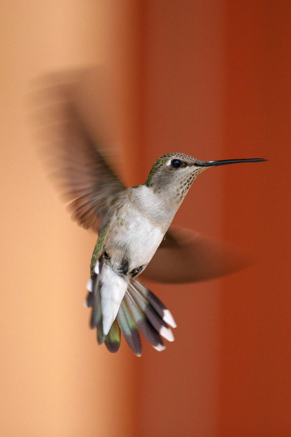 Download Free Stock HD Photo of Hummingbird Hovering Online