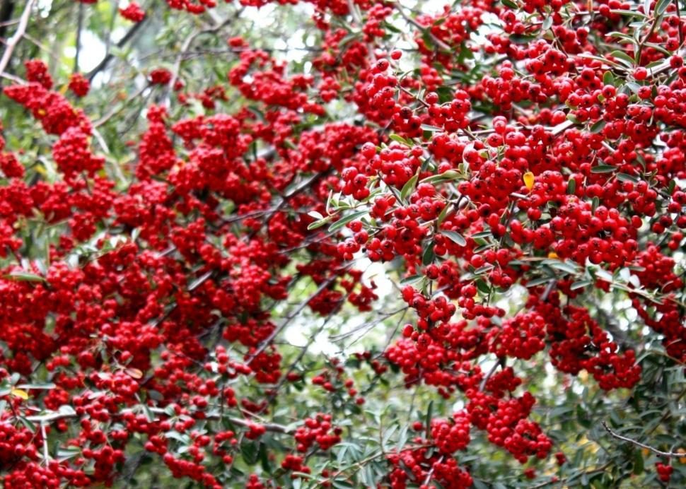 Download Free Stock HD Photo of Red Berry Tree Online
