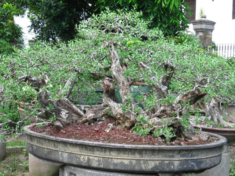 Download Free Stock Photo of bonzai tree