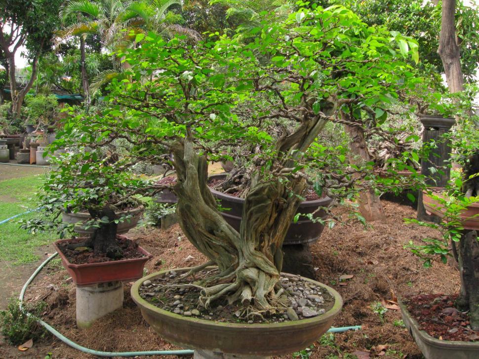 Download Free Stock Photo of bonsai tree