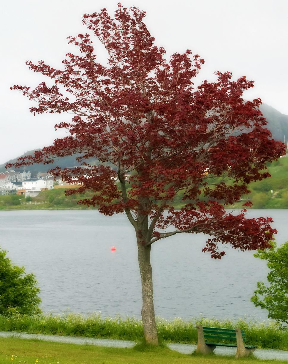 Download Free Stock HD Photo of Red Maple Online