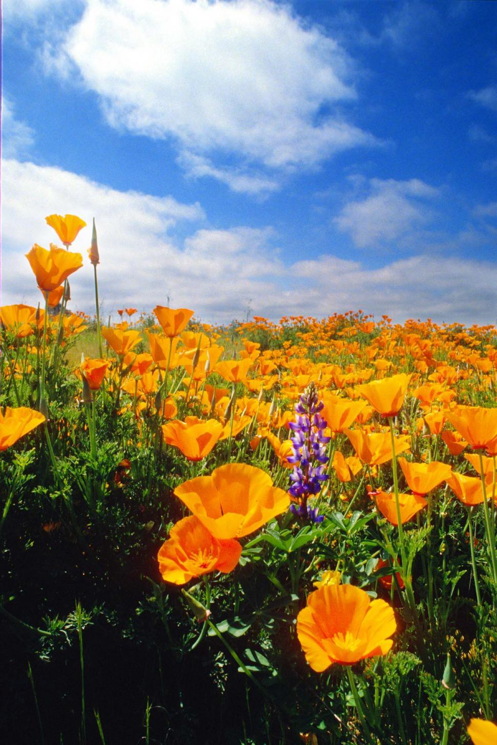Download Free Stock Photo of Field of California poppies
