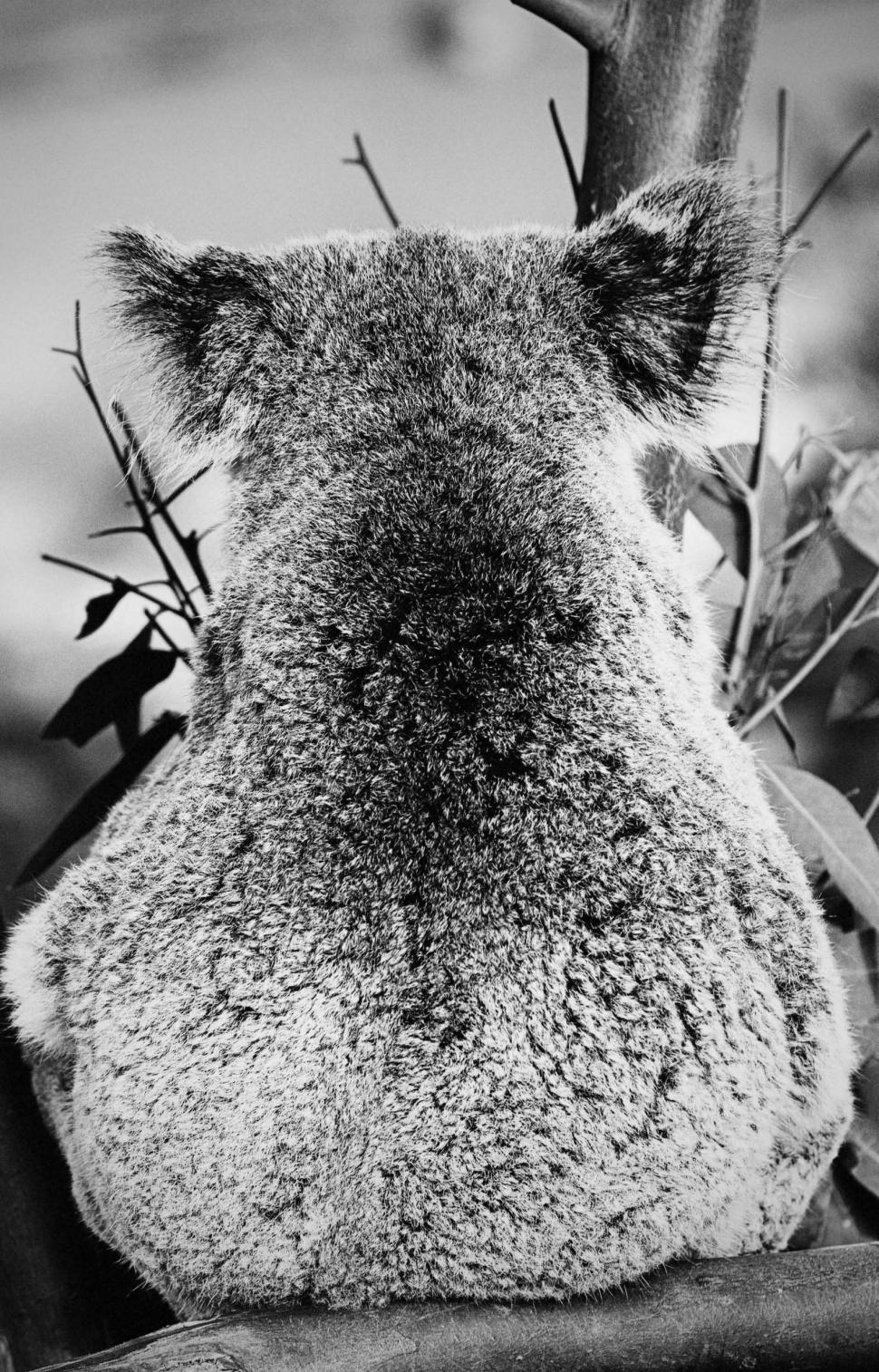 Download Free Stock HD Photo of Koala Online