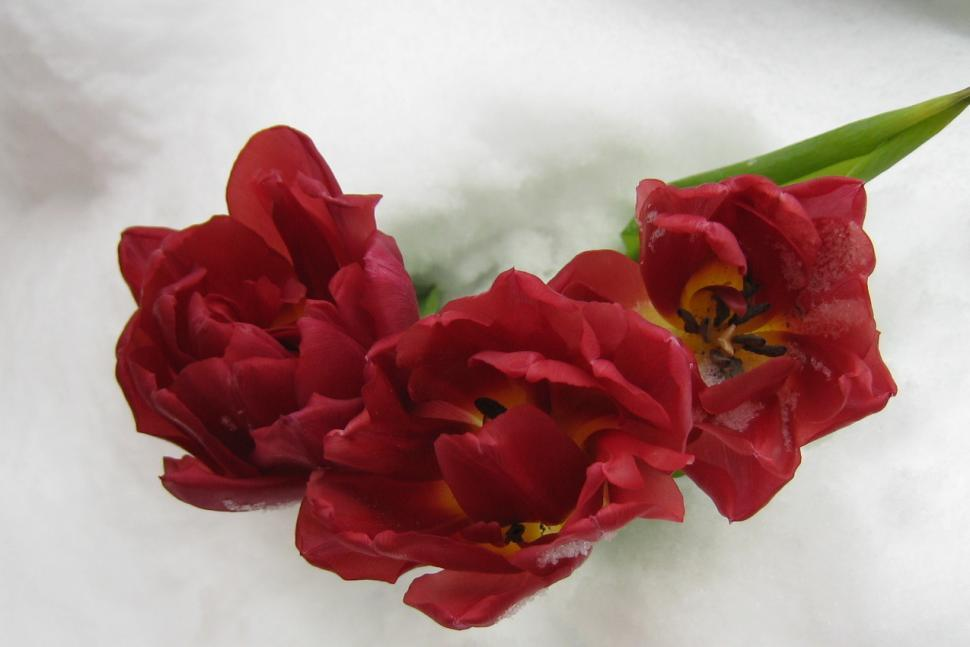 Download Free Stock Photo of Tulip and snow