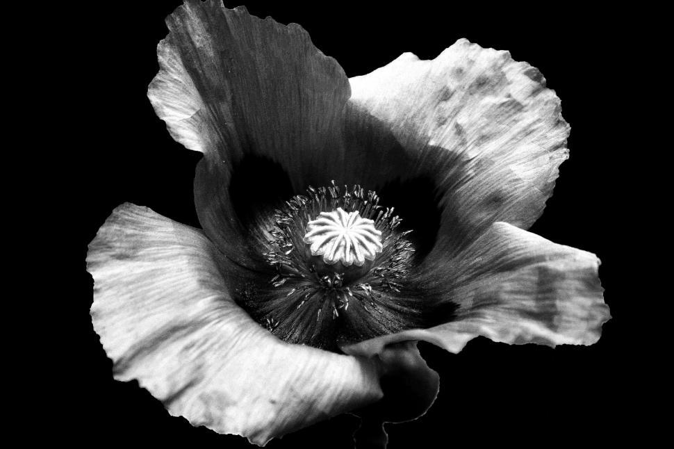 Download Free Stock Photo of Black and White Poppy