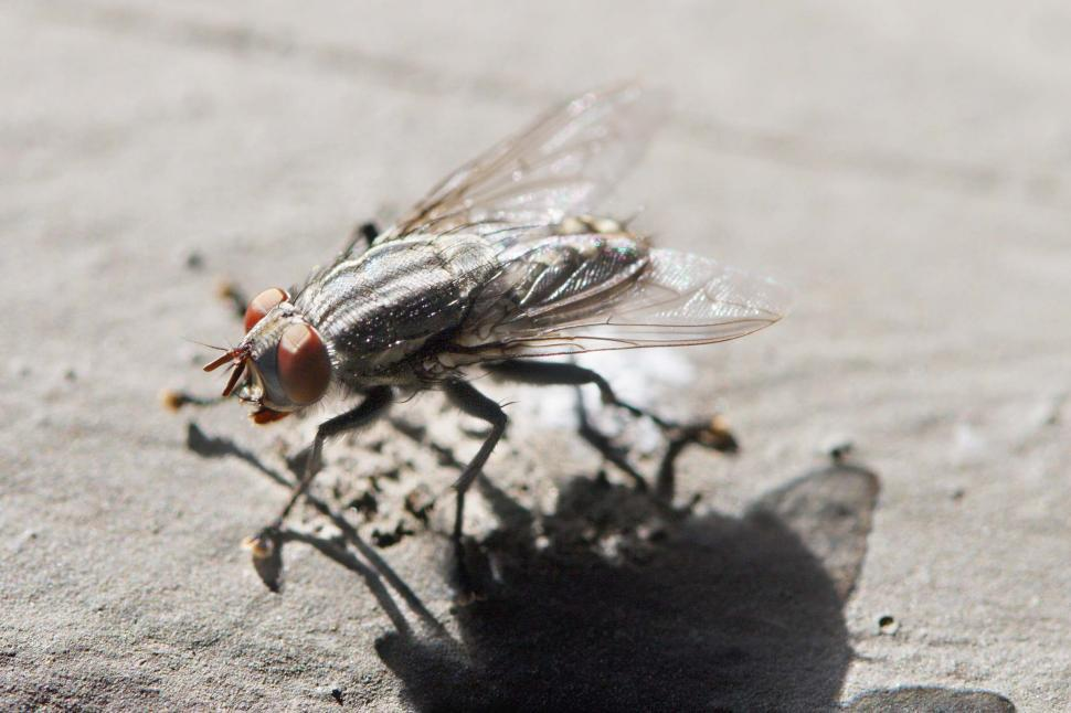 Download Free Stock Photo of Housefly