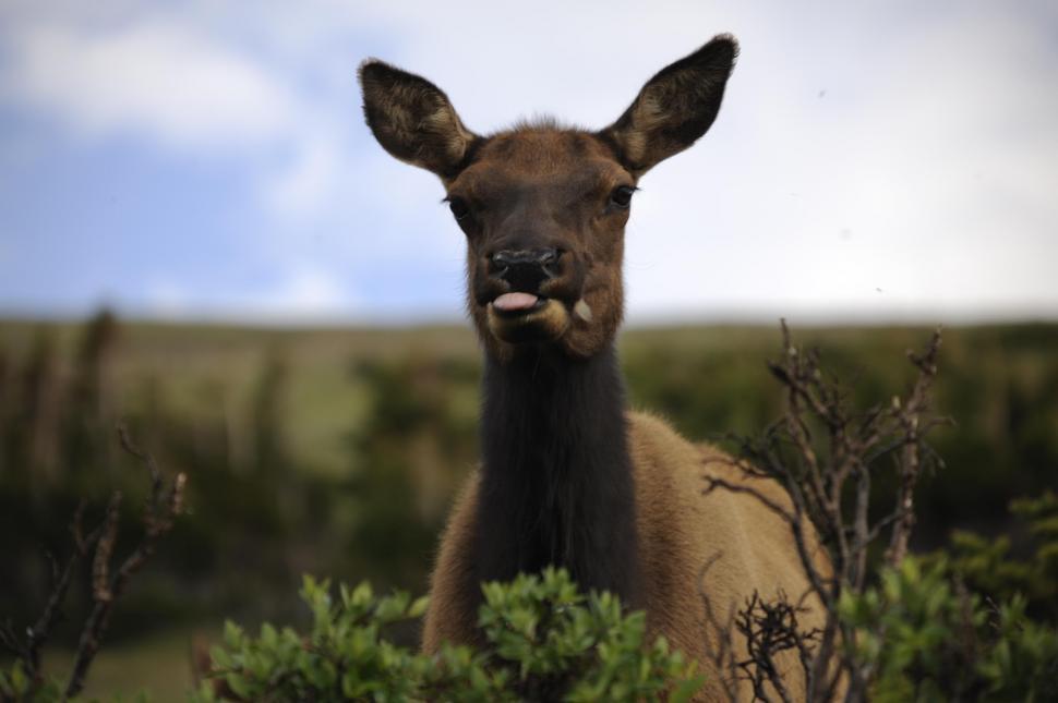 Download Free Stock Photo of Deer