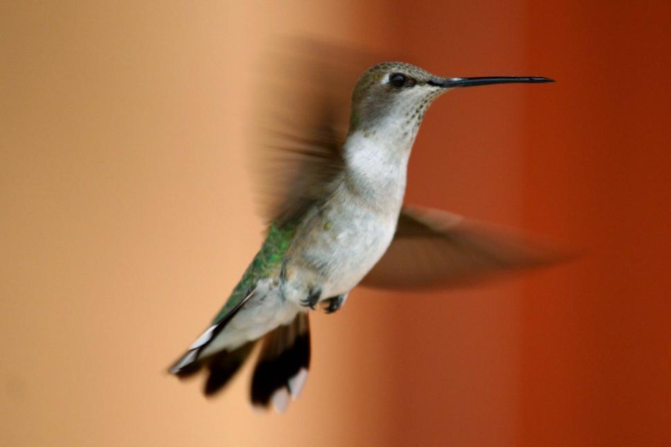 Download Free Stock HD Photo of Hummingbird in flight Online
