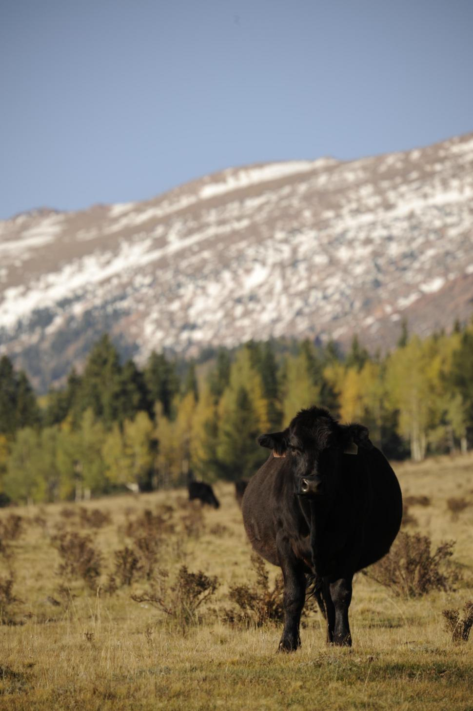 Download Free Stock HD Photo of Black cow and snow mountains Online