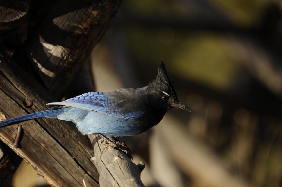 Download Free Stock HD Photo of Blue Jay Bird aka Cyanocitta cristata Online