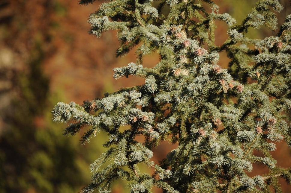 Download Free Stock HD Photo of Pine tree branch Online