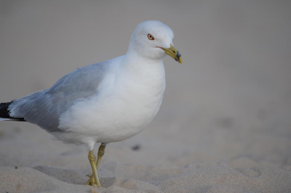 Download Free Stock Photo of Seagull