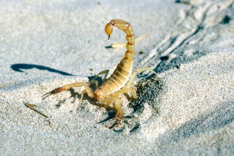 Download Free Stock Photo of Scorpion raises stinger
