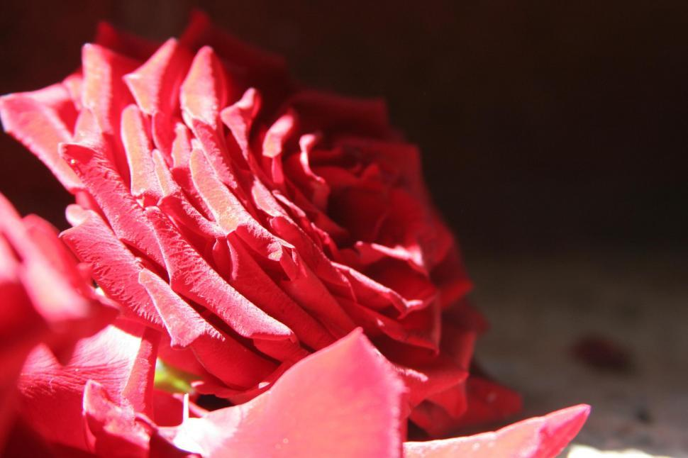 Download Free Stock Photo of Red Flowers