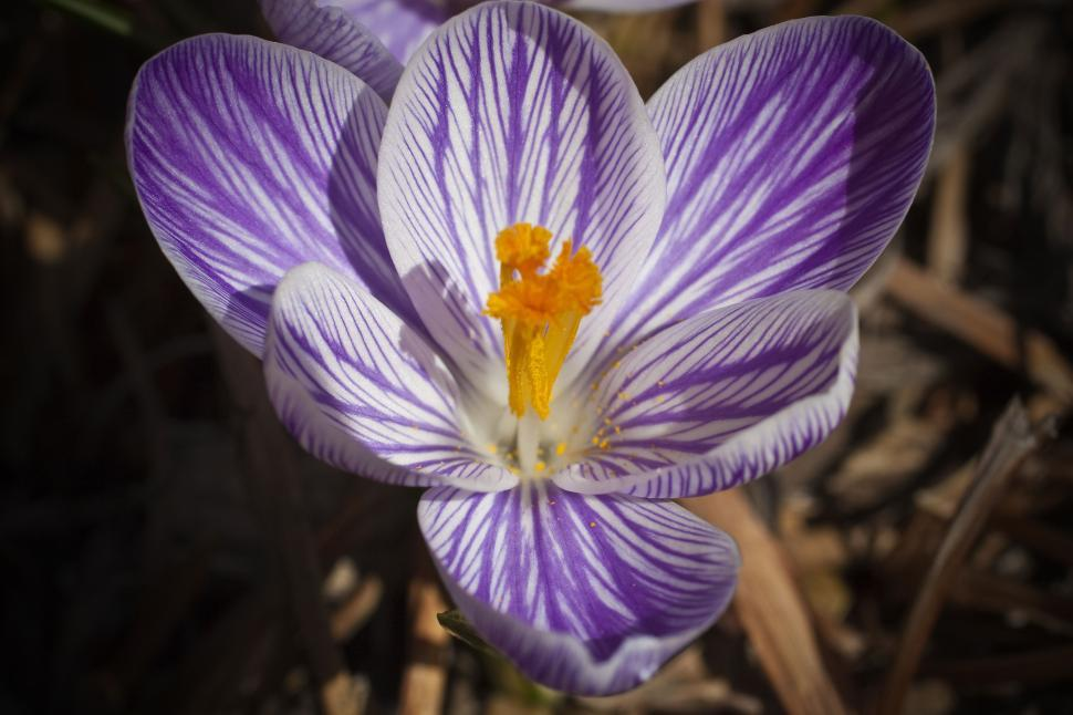 Download Free Stock Photo of Purple Crocus