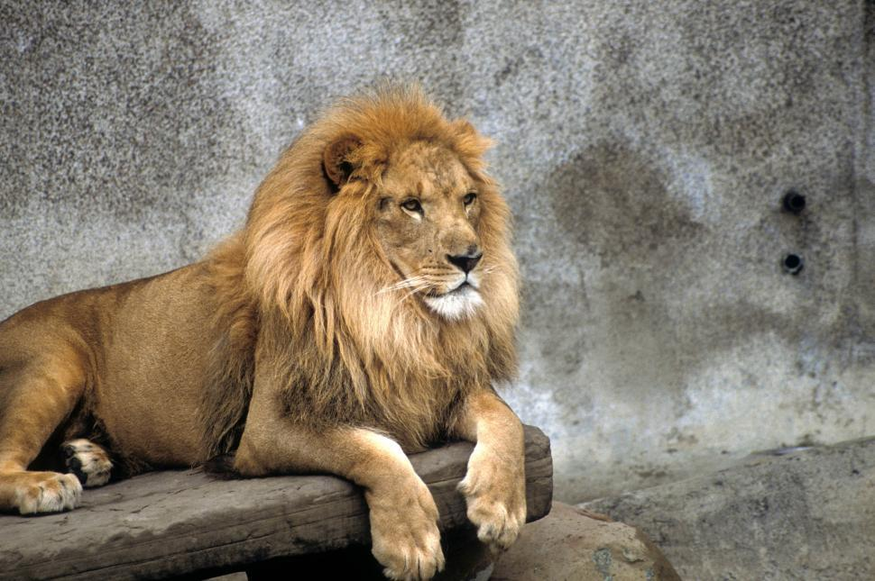 Download Free Stock HD Photo of Male lion on a ledge Online