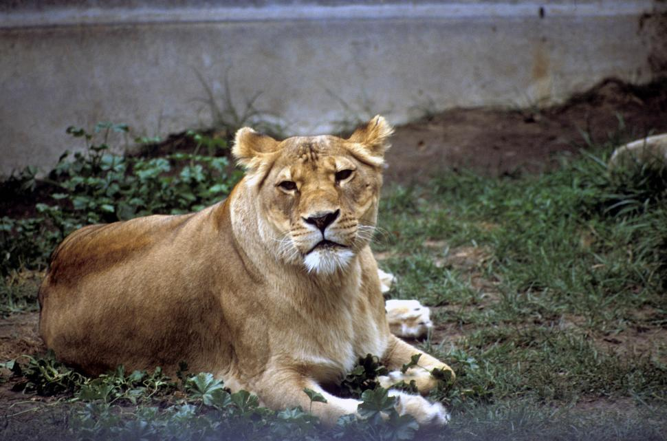 Download Free Stock Photo of Lioness lying down in the zoo