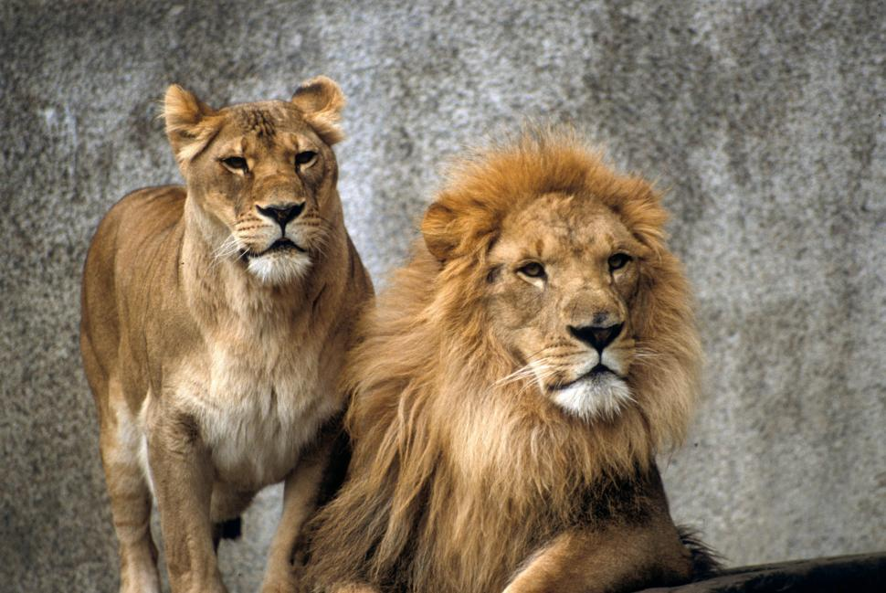 Download Free Stock Photo of Lions together