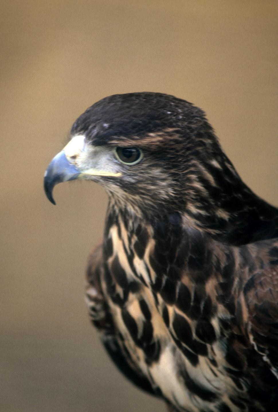 Download Free Stock Photo of Red tailed hawk