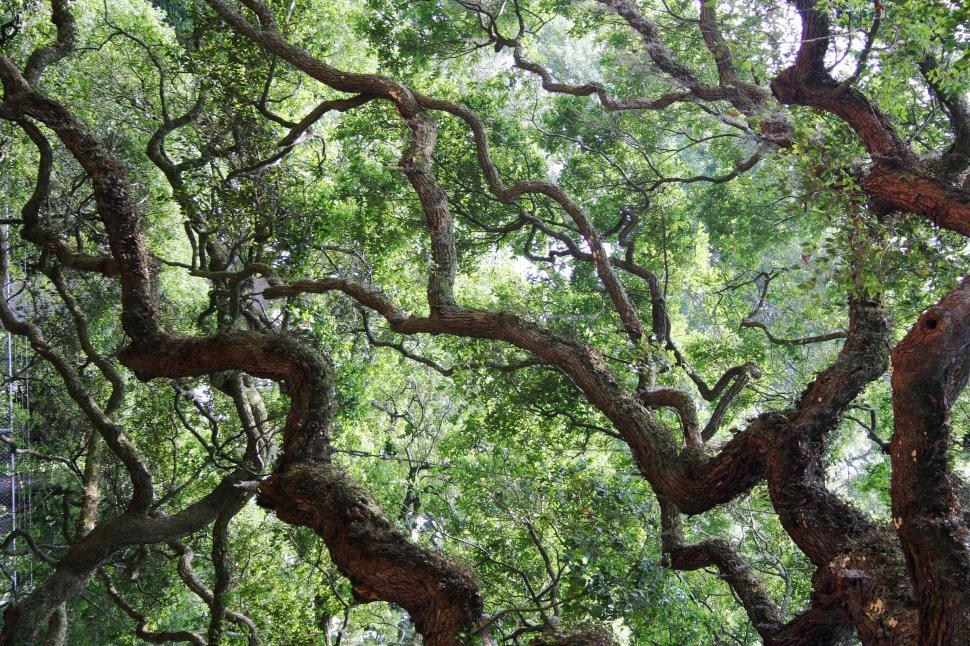 Download Free Stock Photo of tree oak angel south carolina massive huge ancient old large sprawling dense camopy giant limb limbs branch branches