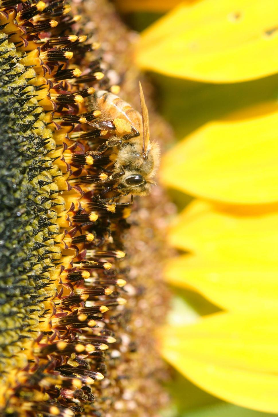 Download Free Stock HD Photo of Bees on a sunflower, close up Online