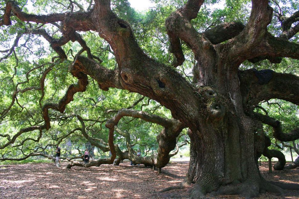 Download Free Stock Photo of tree oak angel south carolina massive huge ancient old large sprawling dense camopy giant limb limbs branch branches gnarley gnarled
