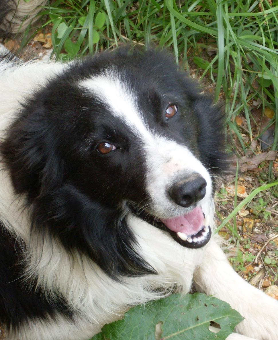 Download Free Stock Photo of Border Collie Face