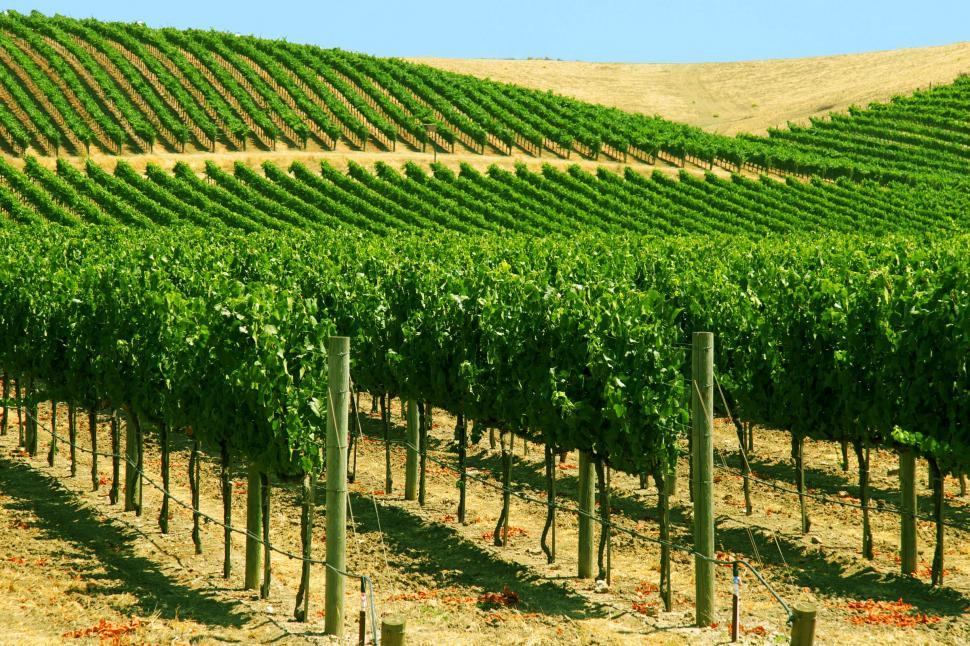 Download Free Stock Photo of Vineyards in early season