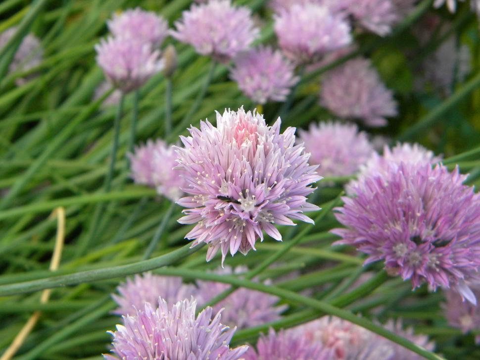 Download Free Stock Photo of Chives