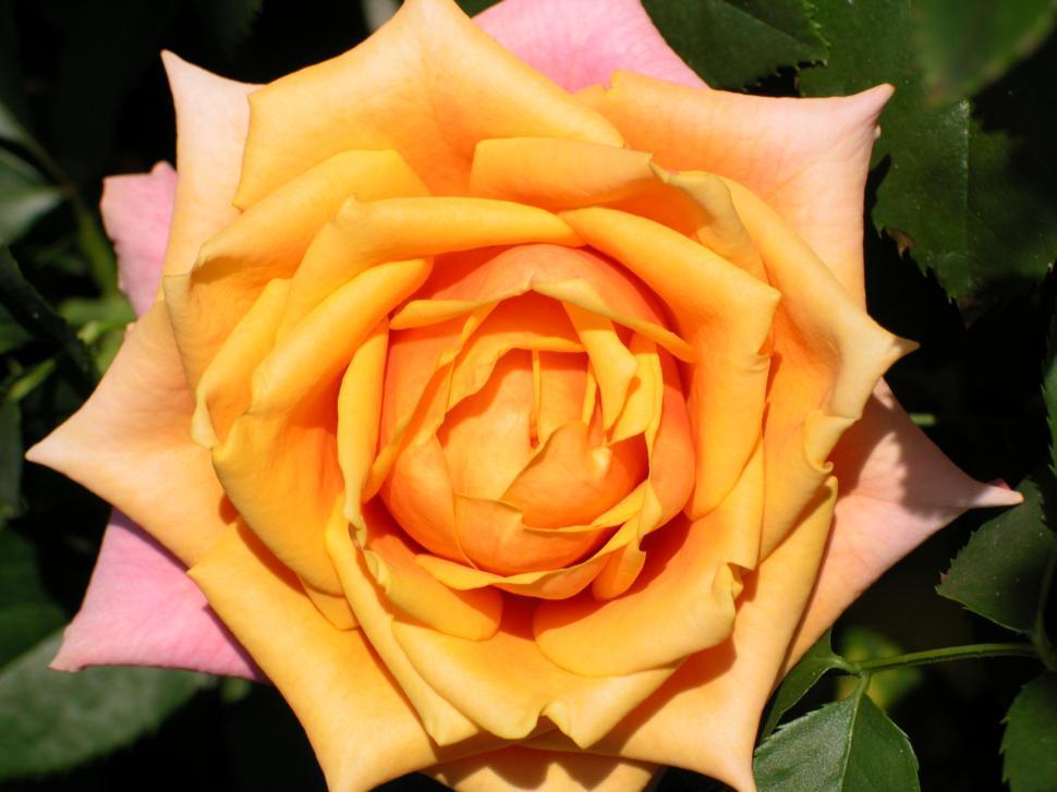 Download Free Stock Photo of rose, orange, macro, flower