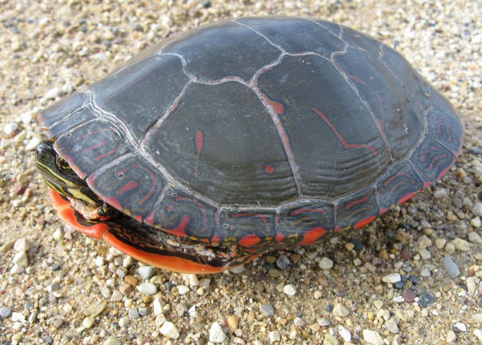 Download Free Stock Photo of Turtle Inside Shell