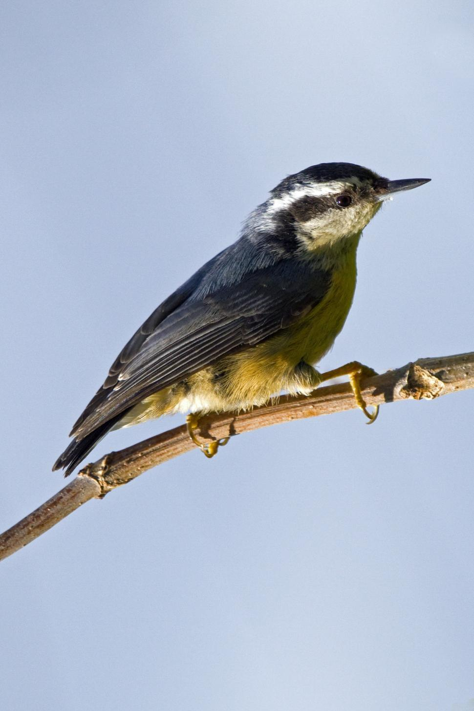 Download Free Stock HD Photo of Nuthatch Online