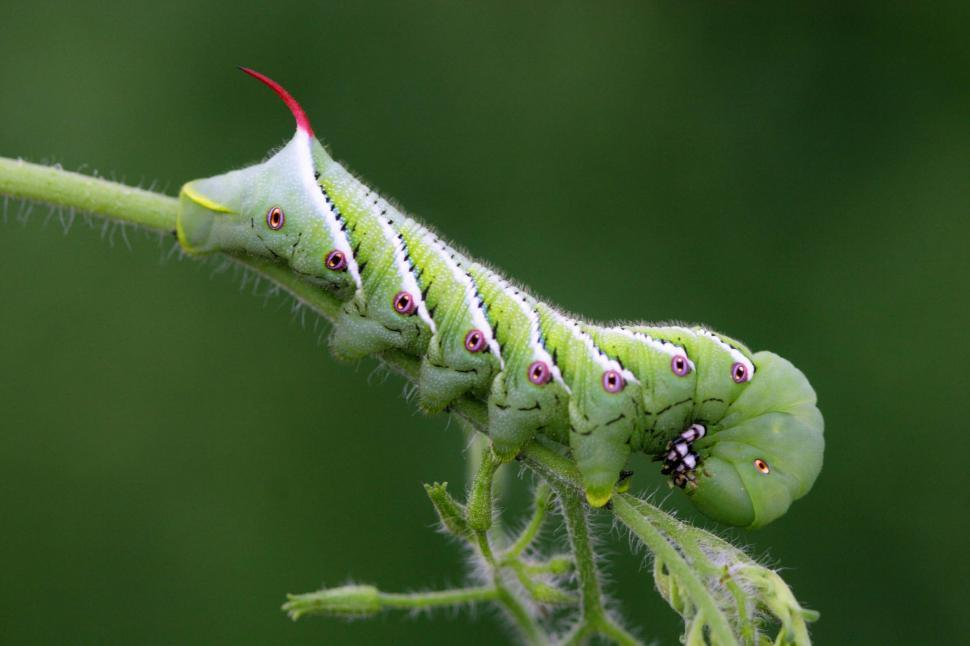 Download Free Stock HD Photo of Manduca hornworm Online