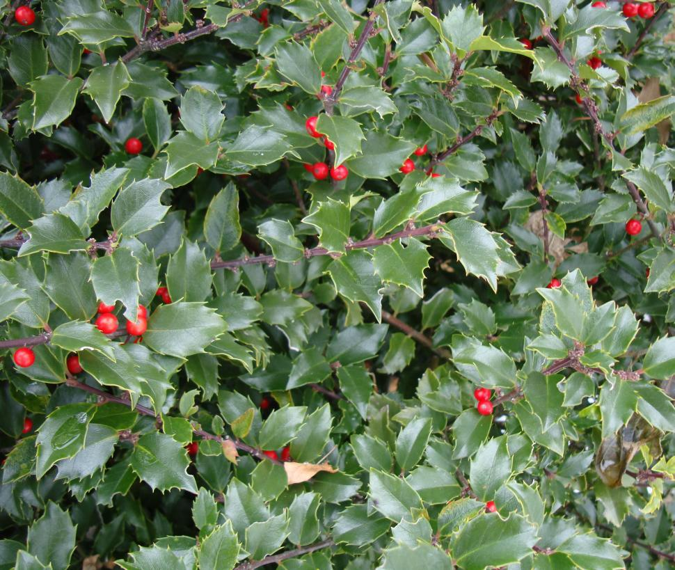 Download Free Stock HD Photo of bush with red berries Online