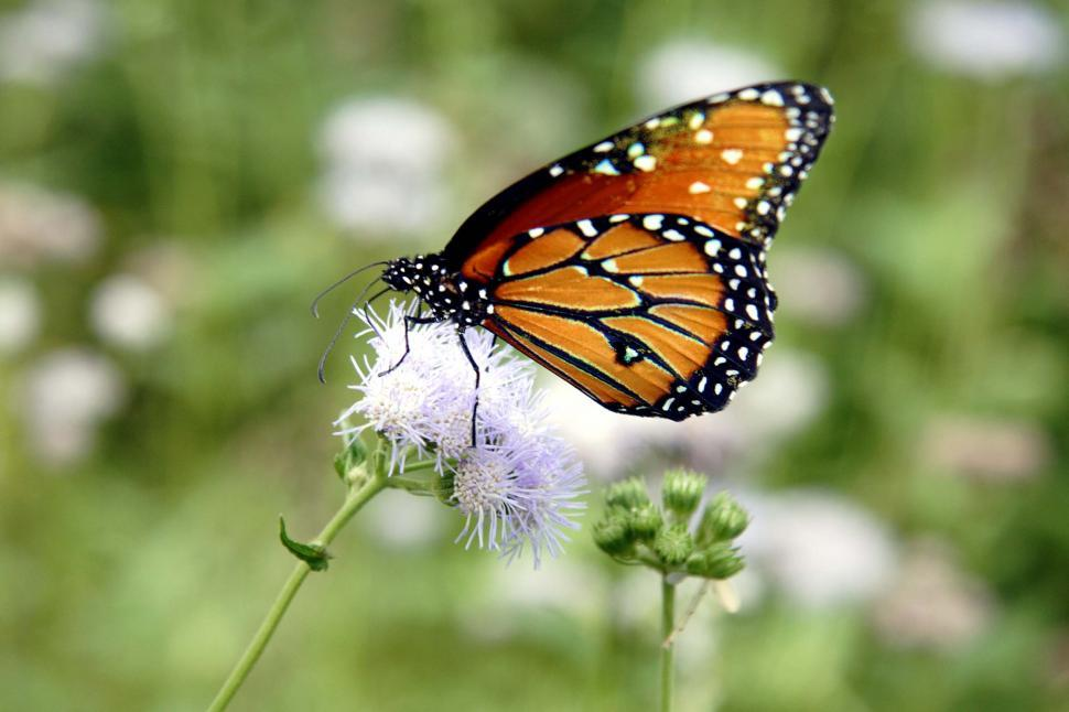 Download Free Stock Photo of Queen butterfly on a flower
