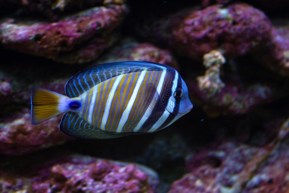 Download Free Stock Photo of Surgeon Fish