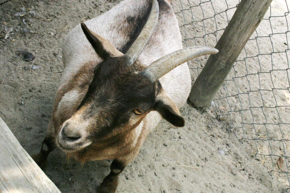 Download Free Stock Photo of goat pygmy petting zoo horns fence animal tame short captive chain link south carolina