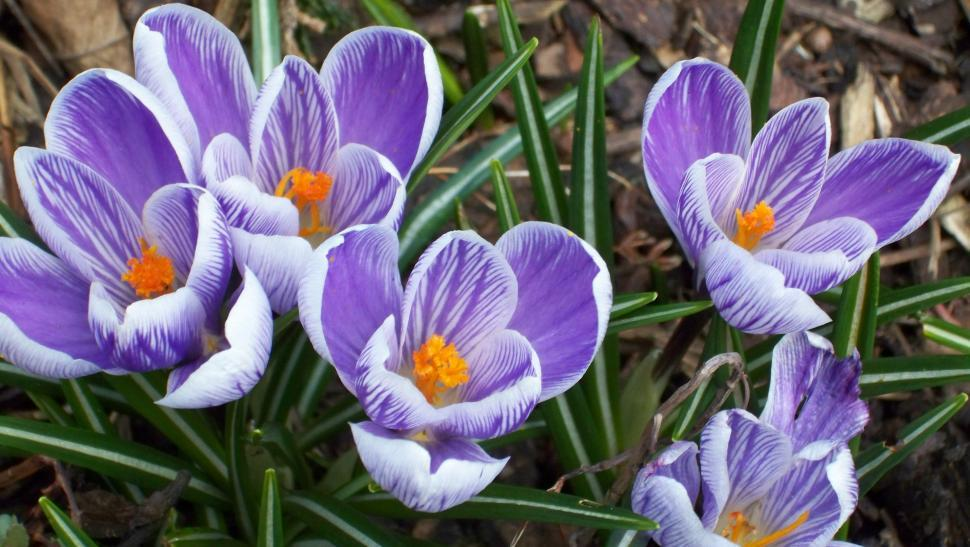 Download Free Stock HD Photo of Crocus blossoms in early spring season Online