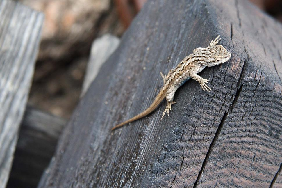 Download Free Stock HD Photo of Lizard on wood Online
