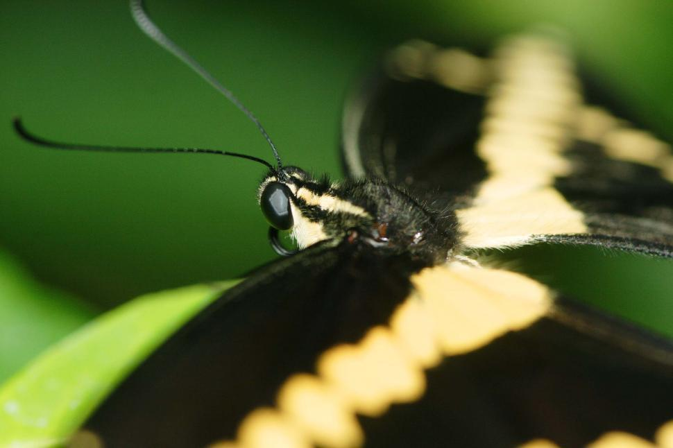 Download Free Stock Photo of butterfly bug insect flying eyes antennae wings winged fuzzy Western Tiger Swallowtail swallowtails pollenate yellow black yellow and black