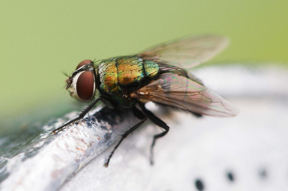 Download Free Stock Photo of House fly macro