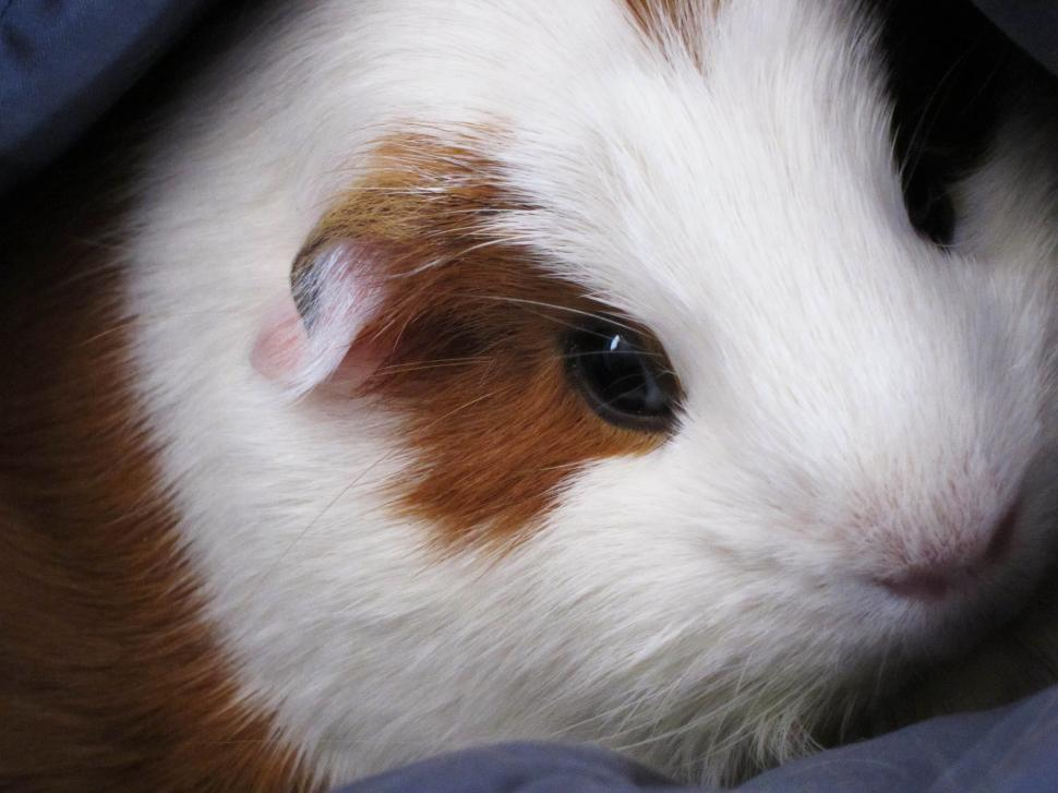 Download Free Stock HD Photo of Guinea pig Online